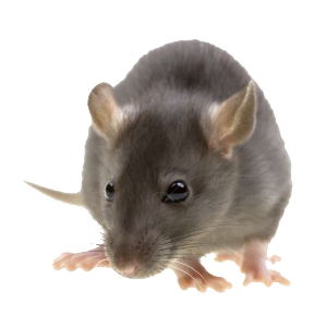 Rodent